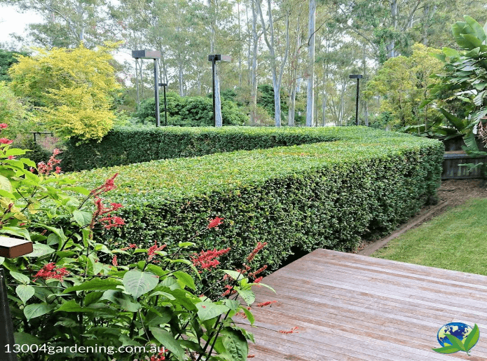 Beautifully cut hedge by 1300 4 Gardening