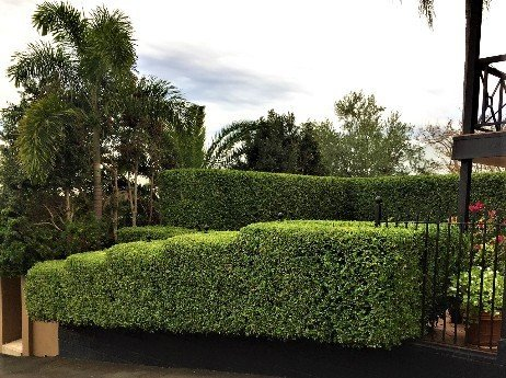 Look-at-the-steps-in-this-hedge-setting-off-this-landscape