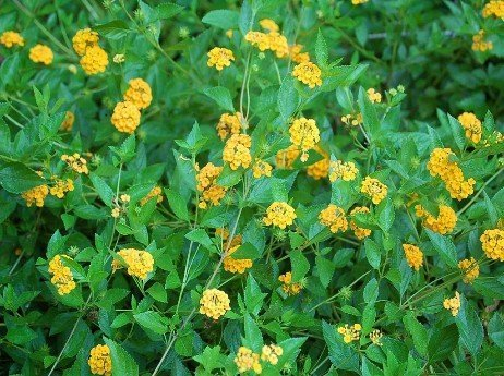 Noxious-weed-1